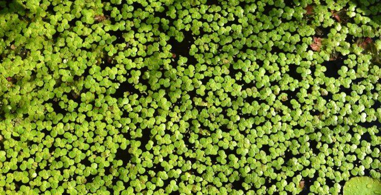 Científicos descubren gran cantidad de vitamina B12 en las plantas de lentejas de agua