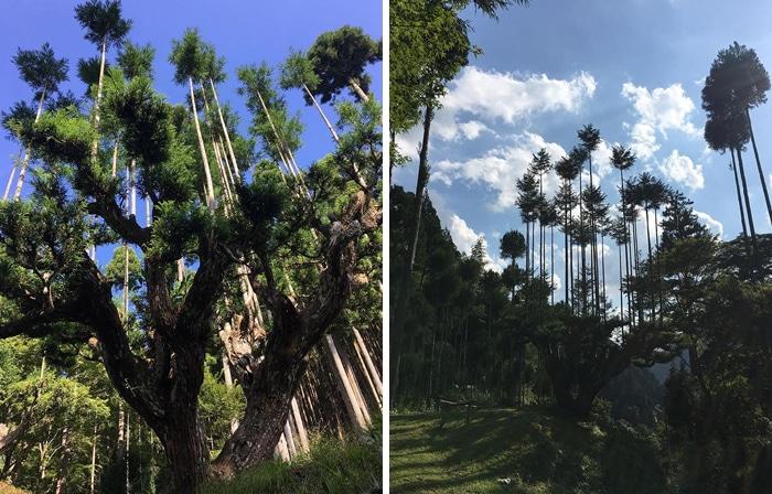 El sistema de poda japonés le permite producir madera sin cortar árboles