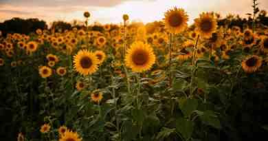 El agricultor que plantó más de 2 millones de girasoles para hacer feliz a la gente