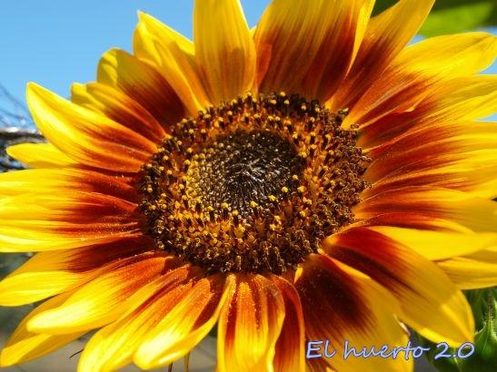 Girasol ornamental en el huerto  El Huerto 20