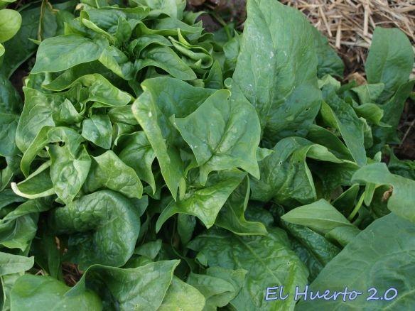 cultivo de espinacas  El Huerto 20