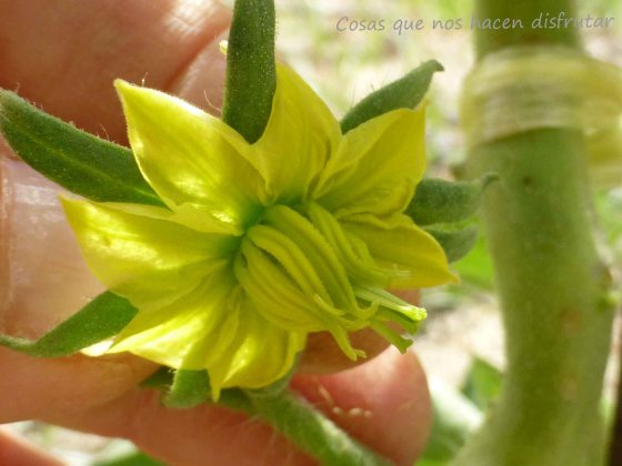 Diario de un tomate: Semana 4 - La floración y los primeros frutos.