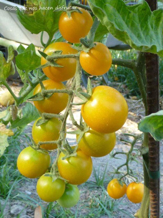 Tomate Ciruela Amarilla