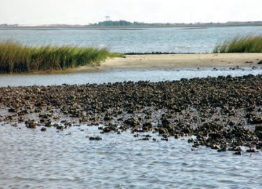 Oyster NOAA