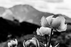 Flores em preto e branco.