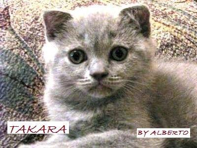 Cardiomiopatia ipertrofica felina HCM