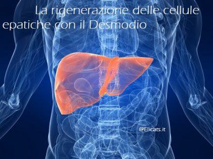La rigenerazione delle cellule epatiche con il Desmodio