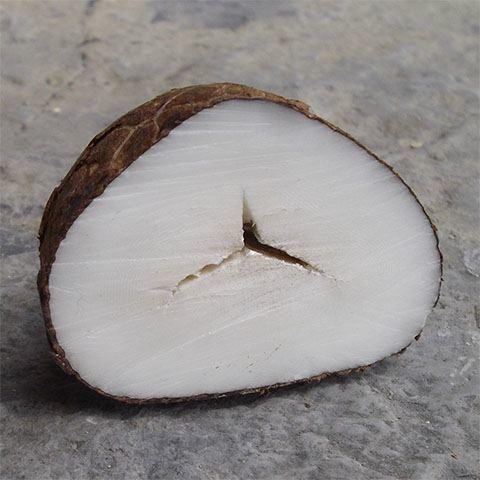 Ivoire végétal