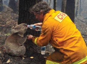Firefighter gives water to a koala during the devastating Black Saturday bushfires that burned across Victoria, Australia, in 2009