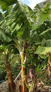 Bananiers sur la route à Madère