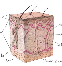 chapter 4 skin body membranes [ 3219 x 1932 Pixel ]