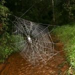 huge-spider-webs-crossing-river_26175_600x450