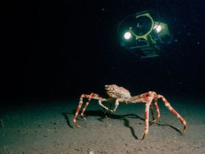 giant04-giant-spider-crab_17453_600x450