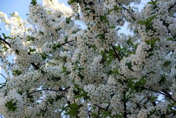 Ужгород. Цветет какое-то дерево