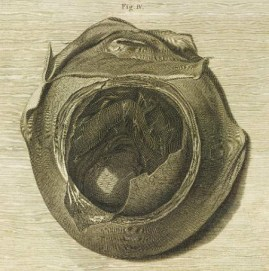 "from William Hunter's ""Anatomy of the Human Gravid Uterus, Jan van Rymsdyck 1774"