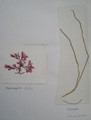 Membranoptera alata & Scytosiphon