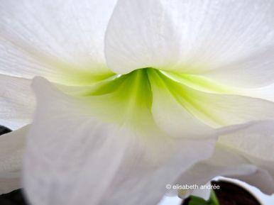 amaryllis white and green