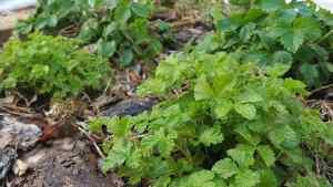 En planta av allåkerbär