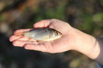 kleiner Köderfisch