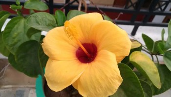 All About Hibiscus Flower Varieties Grow From Seed Or Stem Benefits