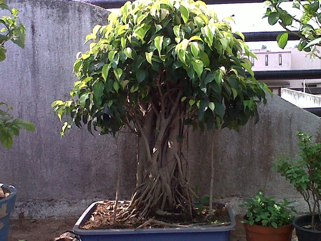 Growing A Bonsai Tree In India Beginner S Guide