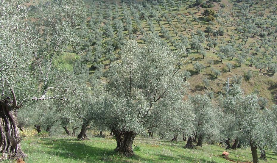 Cultura anuncia la candidatura a Patrimonio Mundial del 'Paisaje del Olivar andaluz'
