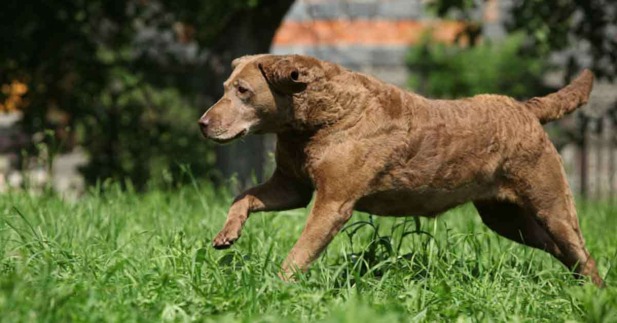 Best Duck Hunting Dogs Chesapeake Bay Retriever