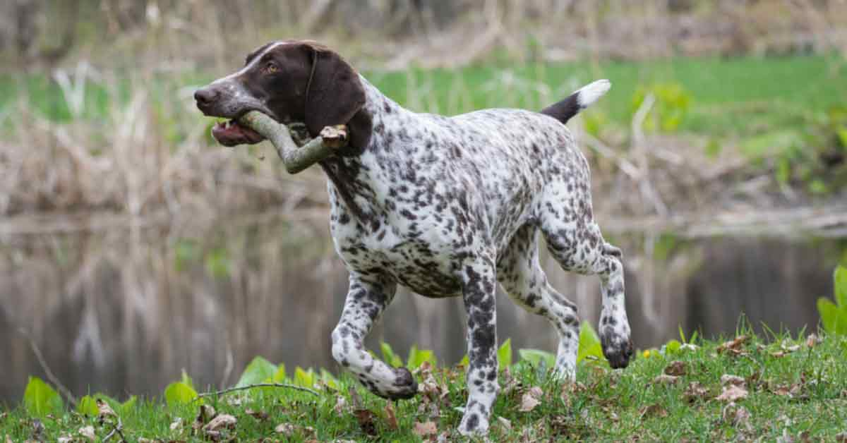 Best Short Hair Hunting Dogs