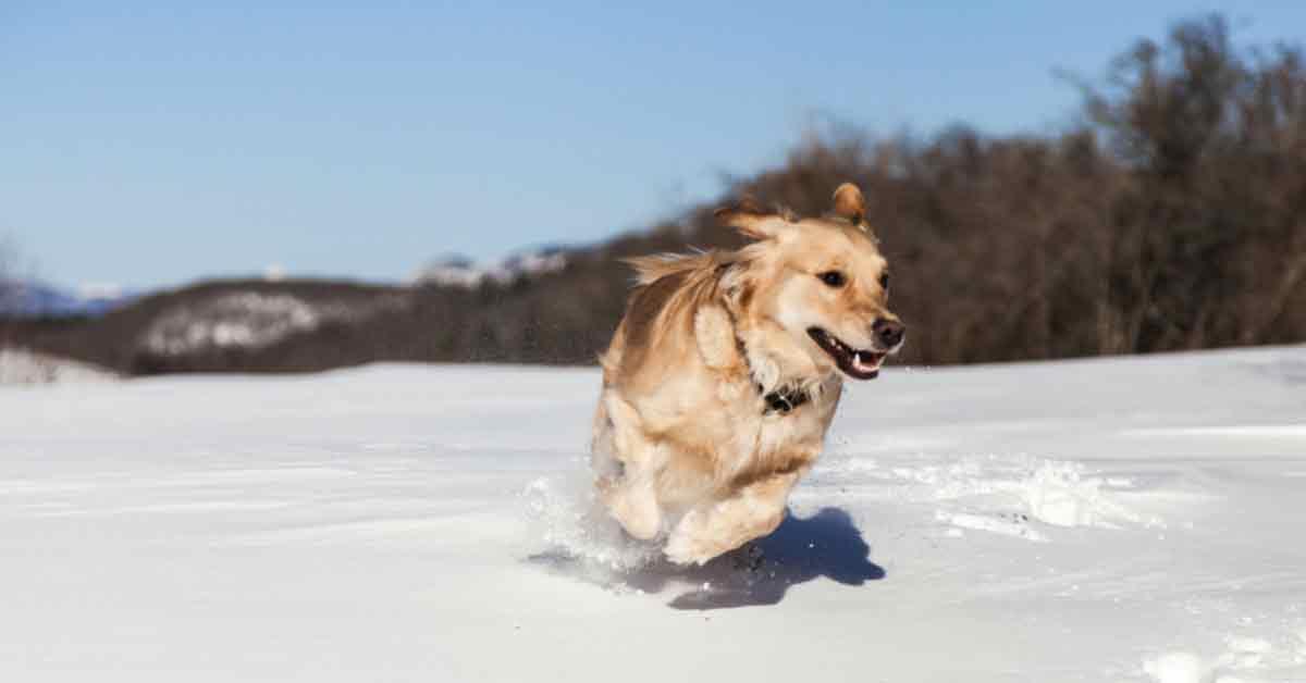 Best Duck Hunting Dogs Golden Retriever