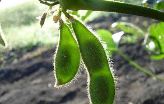 The Ideal Season to Plant Soybeans for Attracting Deer