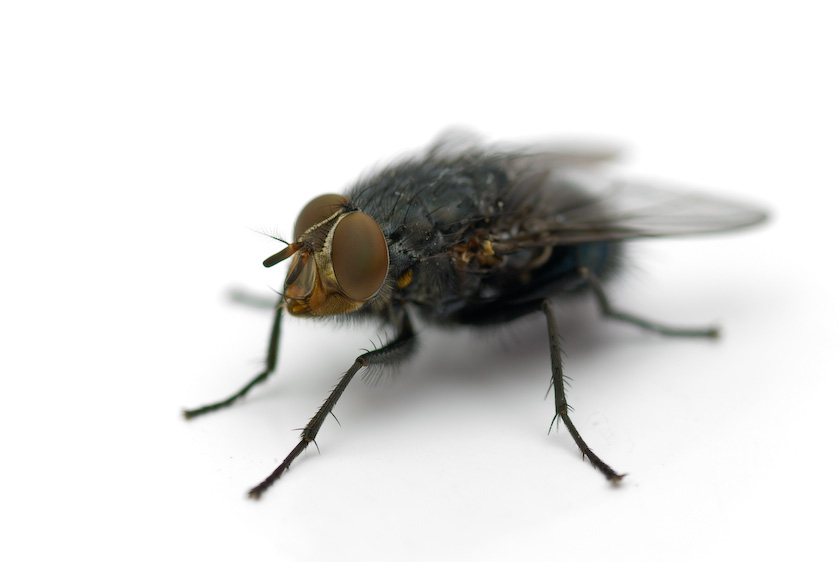 House Fly – Elite Pest Control
