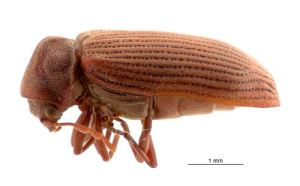 Common Wood Borer
