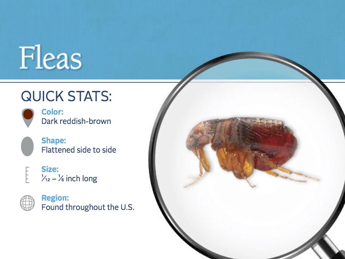 flea-pest-id-card_front
