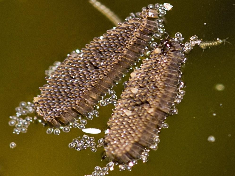 culex-mosquito-raft