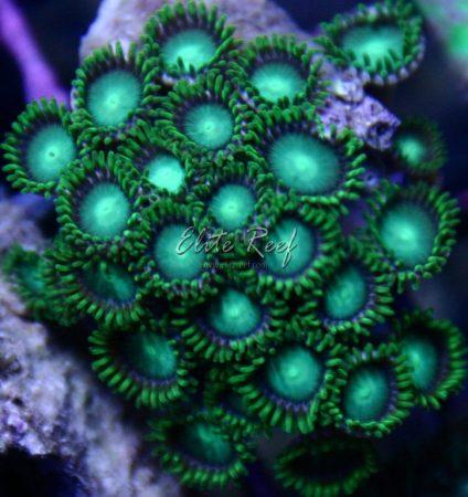 Green-Zoanthids