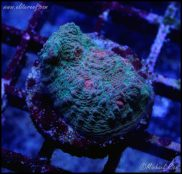Chalice coral