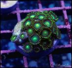 elite_reef_coral_DSC9437