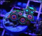 elite_reef_coral_DSC9440