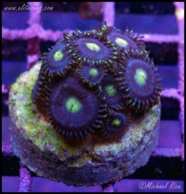 zoanthids