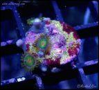 elite_reef_coral_DSC9839