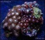 elite_reef_coral_DSC9860
