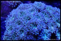elite_reef_coral_dsc2781