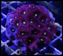 elite_reef_coral_dsc2792