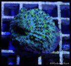 elite_reef_coral_dsc2827