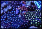 elite_reef_coral_dsc2831