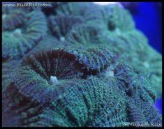 elite_reef_coral_frag_dsc2627