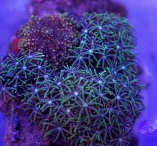 star polyps and ricordia combo