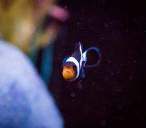 B & W clownfish
