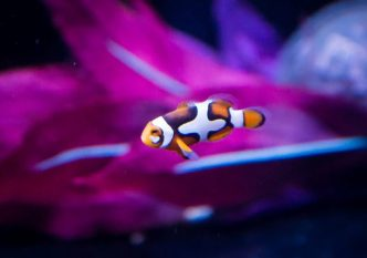 cheek spot clownfish