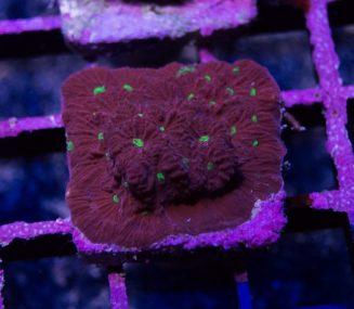 war coral